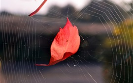 Red leaf in the web