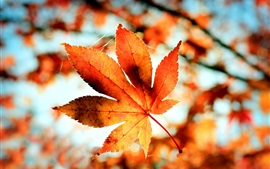 Red maple leaf, autumn, trees, forest