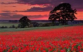 Amapolas rojas, flores, árboles, nubes, puesta de sol