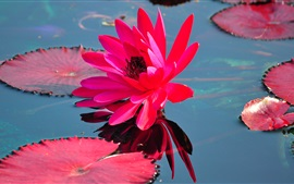 Preview wallpaper Red water lily, red leaves, pond, water
