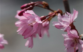 Preview wallpaper Sakura blossom, pink flowers, twigs, blurry background