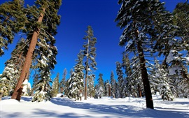 Preview wallpaper Spruce forest, trees, winter, snow