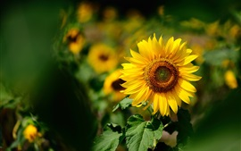 Sunflower focus, blurry background, yellow petals, summer