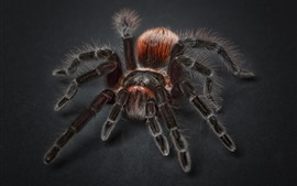 Preview wallpaper Tarantula spider, insect