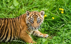 Preview wallpaper Tiger cub, grass, Sumatran