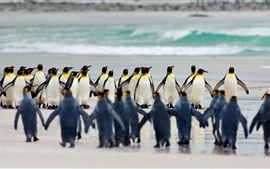 Preview wallpaper Volunteer Point, Falkland Islands, king penguins