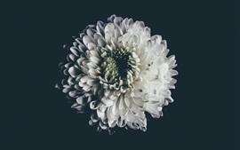 Blanc, aster, fleur, pétales
