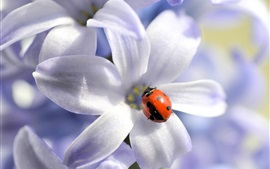 Preview wallpaper White flowers, red ladybug