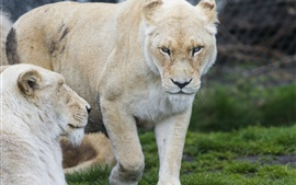 Preview wallpaper White lioness, look, rest, grass