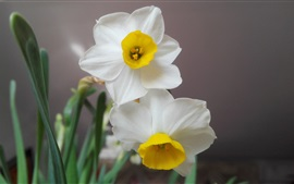 Preview wallpaper White petals daffodils close-up