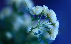Preview wallpaper White rose flowers, dew