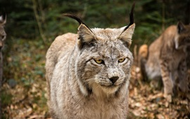 Wild cat, face, yellow eyes, look, lynx