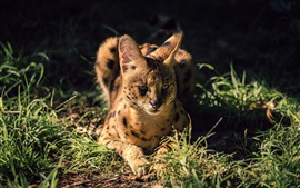 Preview wallpaper Wild cat, serval, grass, night