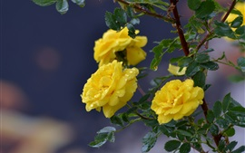 Yellow rose flowers, dew