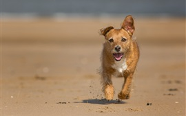 Preview wallpaper A brown dog running at beach