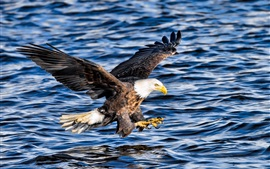 Preview wallpaper Bald eagle, attack, wings, flight, water