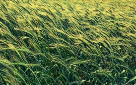 Preview wallpaper Barley field, green