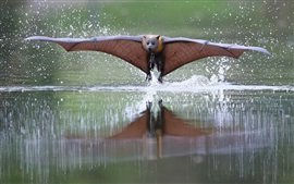 Preview wallpaper Bat flying, wings, water