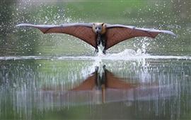 Bat vôo, asas, água