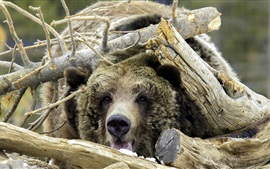Bear, disguise, wood