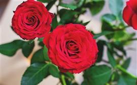 Красивая красная роза, зеленые листья