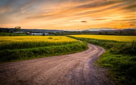 Canola flowers field, road, grass, sunset