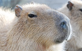 Capybara close-up, face