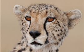 Cheetah close-up, face, predator