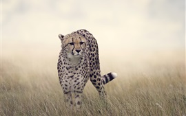 Preview wallpaper Cheetah, grass, wildlife