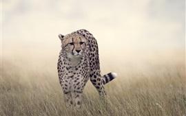 Cheetah, grama, vida selvagem