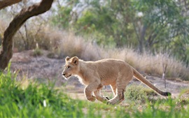 Cute lion cub walk