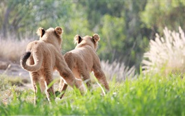 Cute lion cubs running and chase