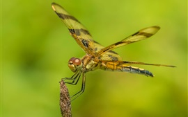 Dragonfly close-up, green background