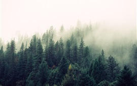 Forest morning, trees, fog
