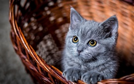 Preview wallpaper Furry grey kitten look at you