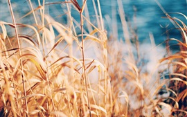 Grass, reed, summer