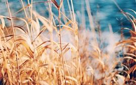 草,蘆葦,夏天