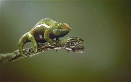 Preview wallpaper Green chameleon, tree branch
