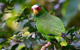 Preview wallpaper Green parrot look back