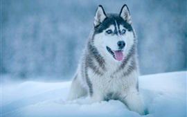 Preview wallpaper Husky dog in snow, winter