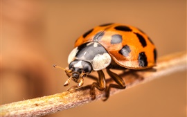 Preview wallpaper Ladybug close-up, insect photography