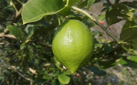 Preview wallpaper Lemon tree, green lemon