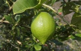 Citron, arbre, vert, citron
