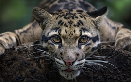 Preview wallpaper Leopard, wild cat, front view, face