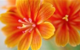 Lewisia flores macro fotografía, pétalos de naranja