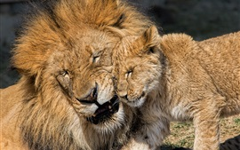 Preview wallpaper Lion and lion cub, fatherhood, love