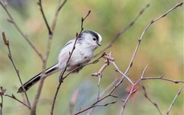 Длинная хвостная птица, ветки, дерево