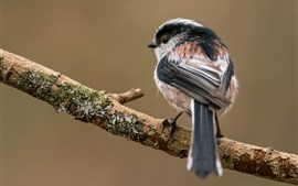 Long-tailed tit, tree branch