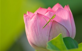 Preview wallpaper Lotus and mantis, pink flower, insect