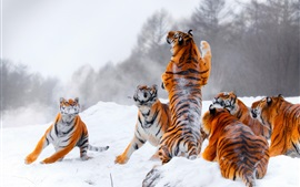 Preview wallpaper Many tigers, playful, snow, winter